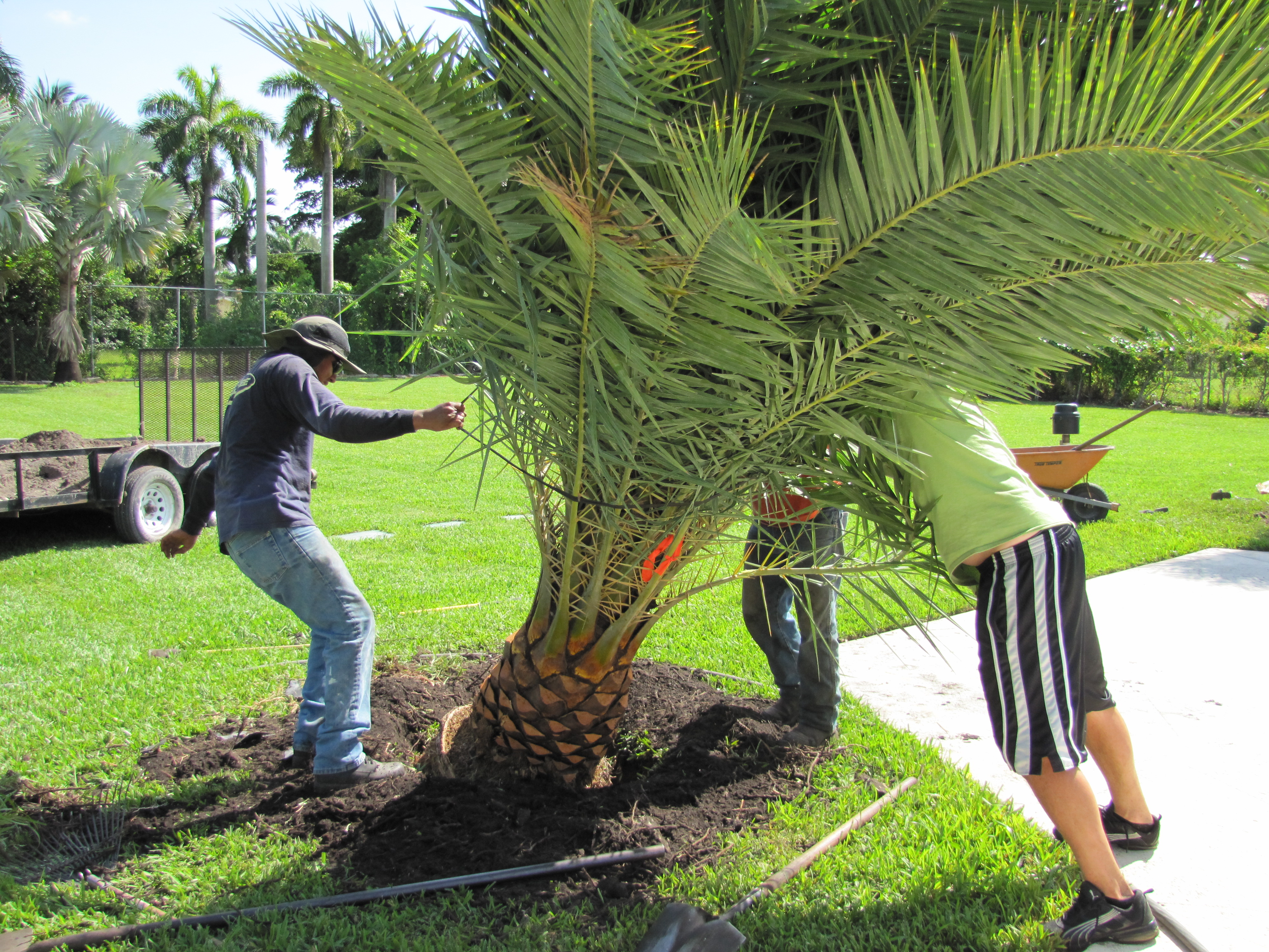 Planting Sylvester Date Palm Trees In Our Backyard Red